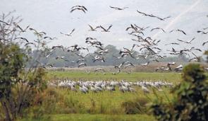 Migrujące ptaki w czasie międzylądowania w Lake Agmon w północnym Izraelu w 2008 roku