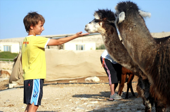Alpaca Farm, Mitzpe Ramon, Izrael